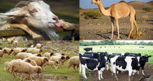 أسعار الأضاحي في مصر 2018 العجول الأغنام خروف العيد
